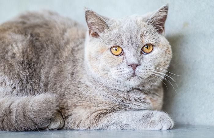 Katze als Überträger von Toxoplasmose